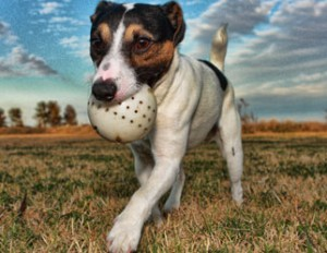 jack_russell_322