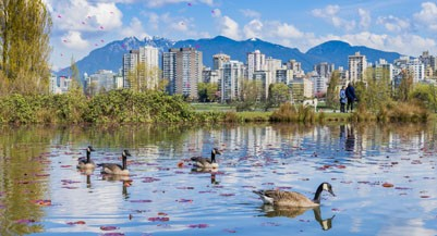 Canada Geese in pond, Vanier Park, Vancouver, British Columbia, Canada