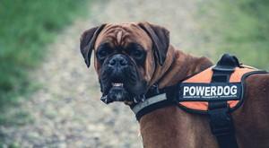 safer dog