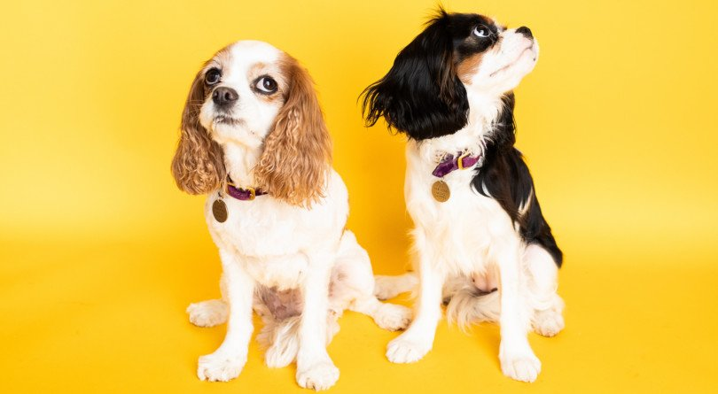 two dogs in front of a yellow backdrop